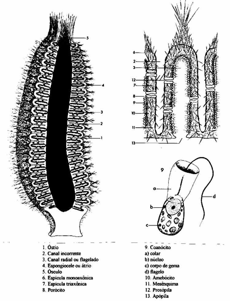 Biologia: Filo Porífera