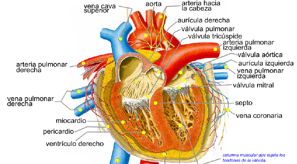 Moderno Anatomía De La Arteria Pulmonar Motivo - Anatomía de Las ...