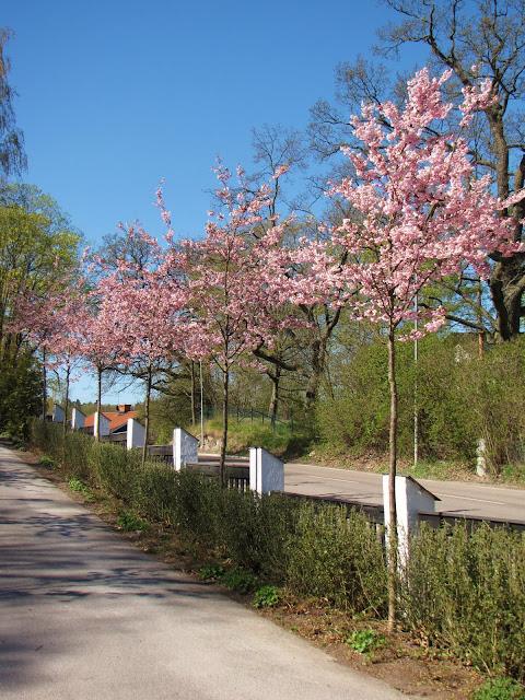 rosa körsbärsträd prunus trädgårdsdesign