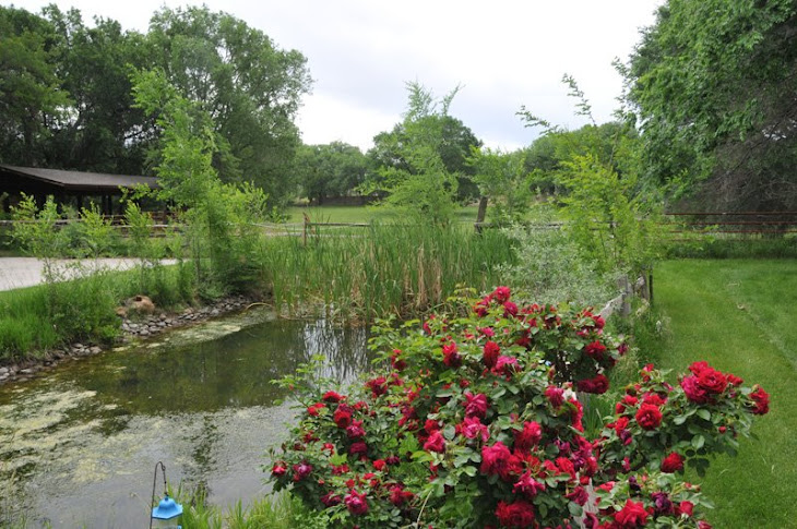 Willow Pond Roses and Pond