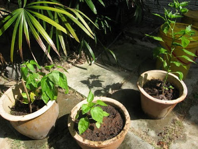 young organic chilies in pots