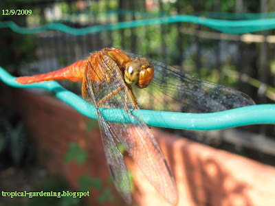 Dragonfly in Malaysia