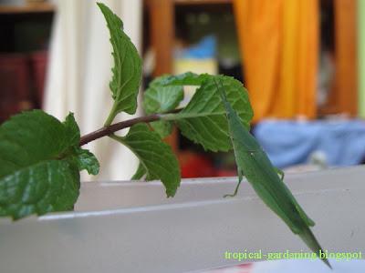 grasshopper mint malaysia
