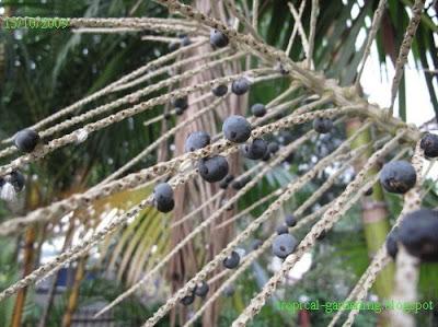 identify yellow palm fruit malaysia