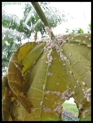 papaya mealy bug malaysia