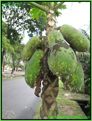 papaya attacked by mealy bugs malaysia