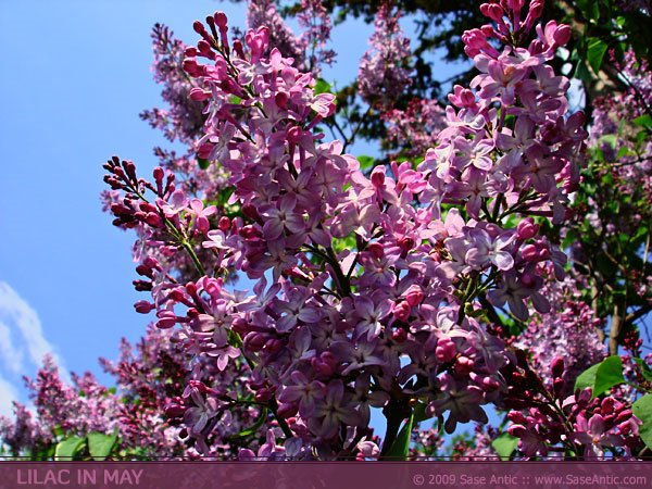Pink and purple lilac flowers: Lilac tree in May