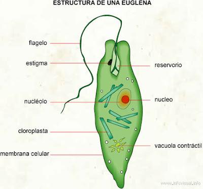 Estructura+euglena.jpg (400×371)