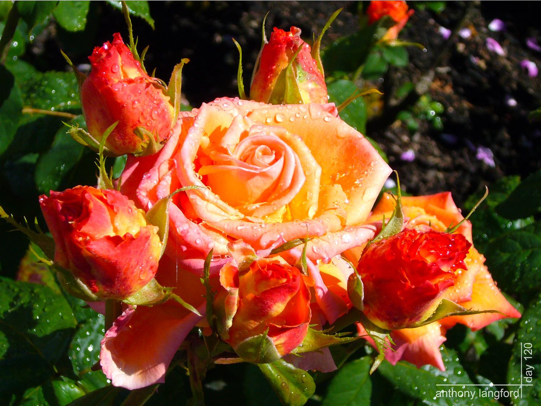 http://3.bp.blogspot.com/_Ee57mf-HVNA/TOHObFYKFzI/AAAAAAAAAMY/1KPArmc_6pM/s1600/Photo365-Day120-BunchORoses-blogpost.jpg