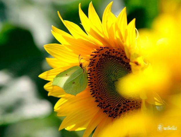 Pojok Hijau Bunga Matahari Yang Bersinar