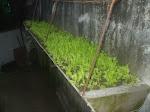 Horta suspensa de mudas de alfaces