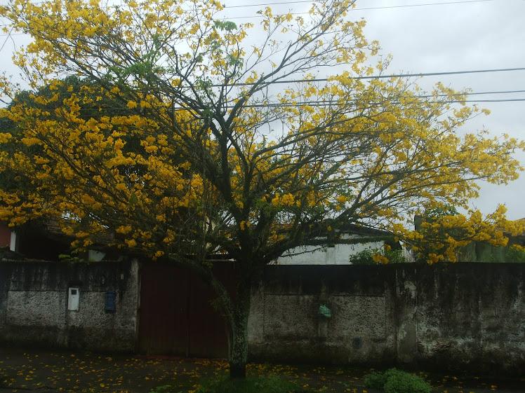 Ipê Amarelo em rua próxima da minha casa - 13-11-2010