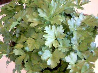 Slätbladig Persilja