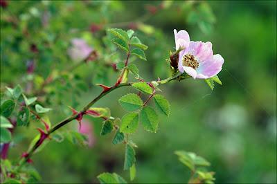 Fleurs d'églantiers