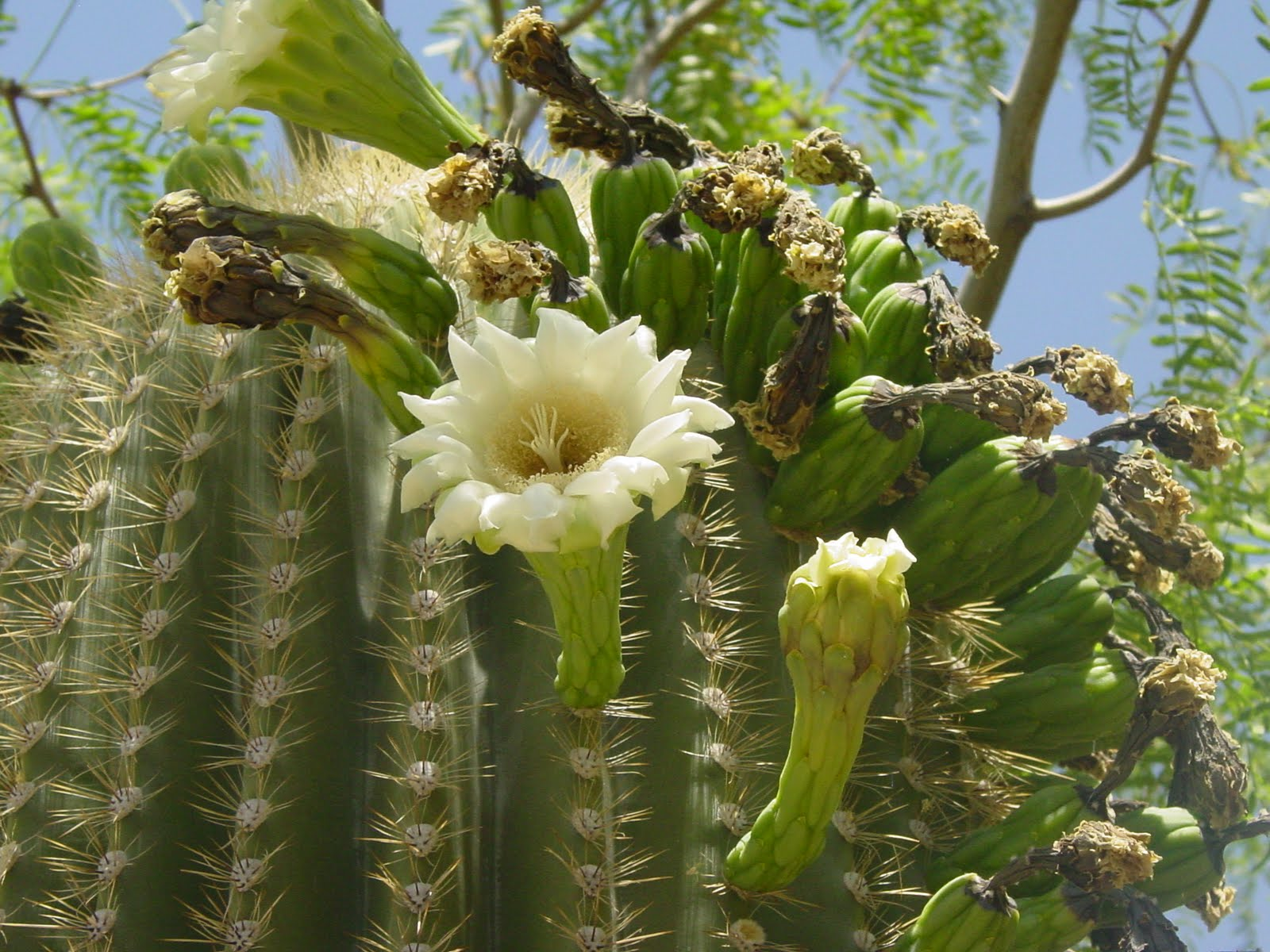 Tucson Daily Happenings The Saguaro Cactus Flower is the State Flower of Ari