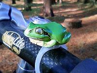 目が光るカエル