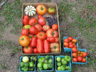 I picked a good load of tomatoes, beans, tomatillos, and my first-ever winter squash (top left). I dont know if I should eat it or display it as art.