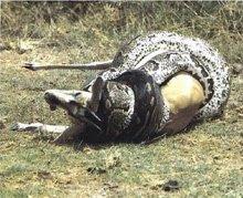 Bahayanya  Belitan Ular....hati-hati...