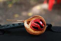 Nutmeg,commodity of Banda Naira