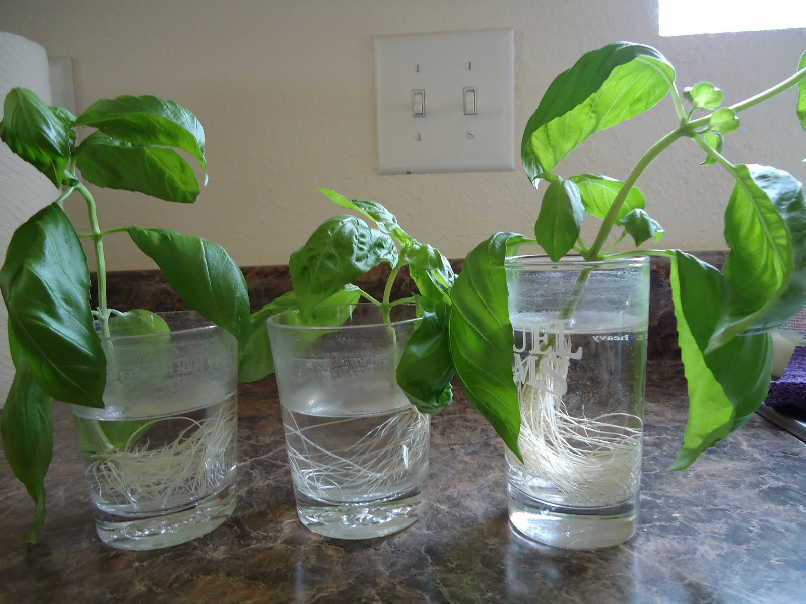 Thyme To Garden Now: Planting Basil Cuttings