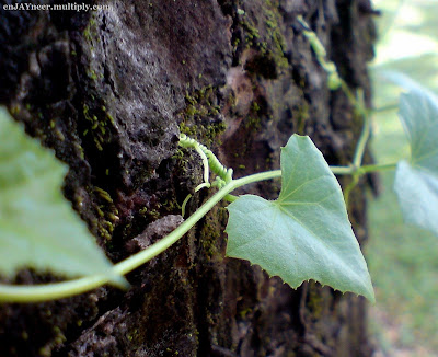 leaves, clark, Pampanga, green, photography, macro, nature, art, camera, sony ericsson, jaypee david, enjayneer, bangis, holy angel university, iecep, ece