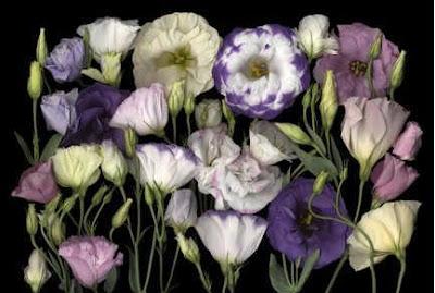 lisyantus çiçeği