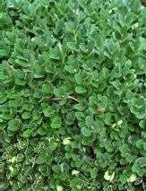 Resim+5.4+Buxus+bitkisinin+genel+g%C3%B6r%C3%BCn%C3%BC%C5%9F%C3%BC