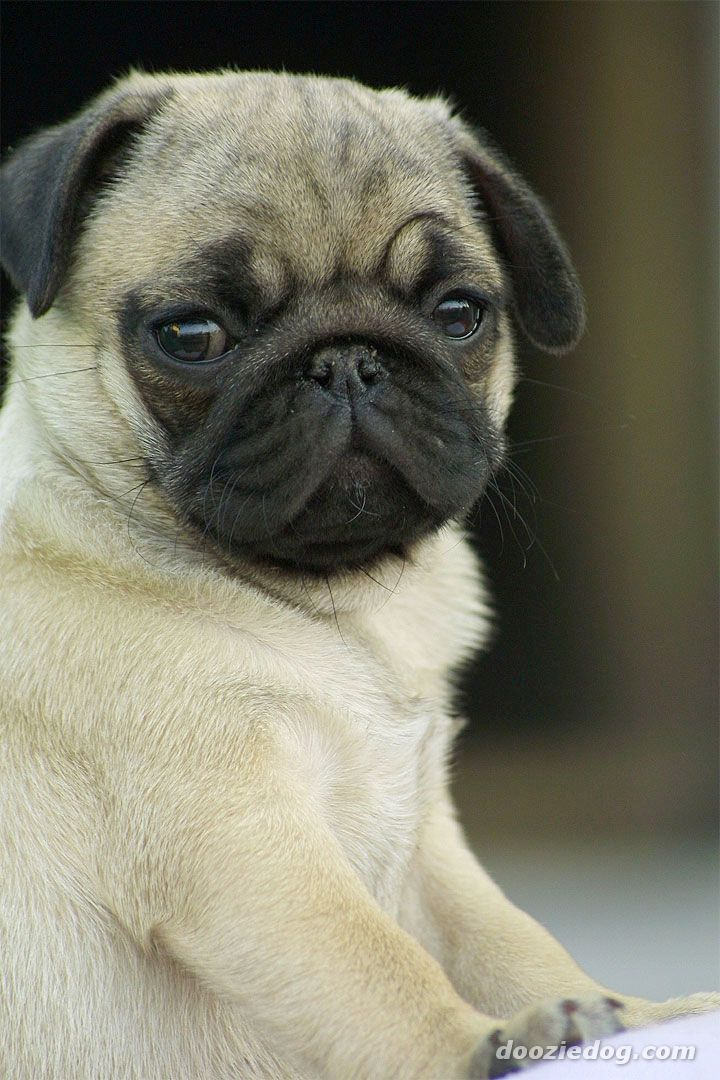 Fat Cute Pugs Fat Pug Puppies