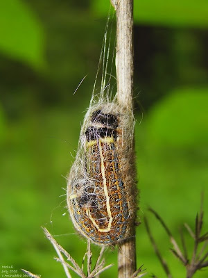 as a caterpillar cocoon