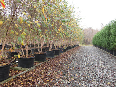For All Of You Landscape Contractors That Are Looking For Consistency And  Quality In Large, Containerized Trees, Look To Casey Nursery In Goldsboro,  ...