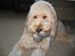Daisy the Goldendoodle