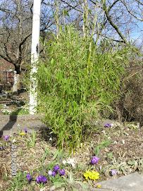 Bambu på våren