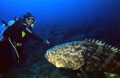 pacific goliath grouper  ... Pacifički Golijat (Pacific goliath