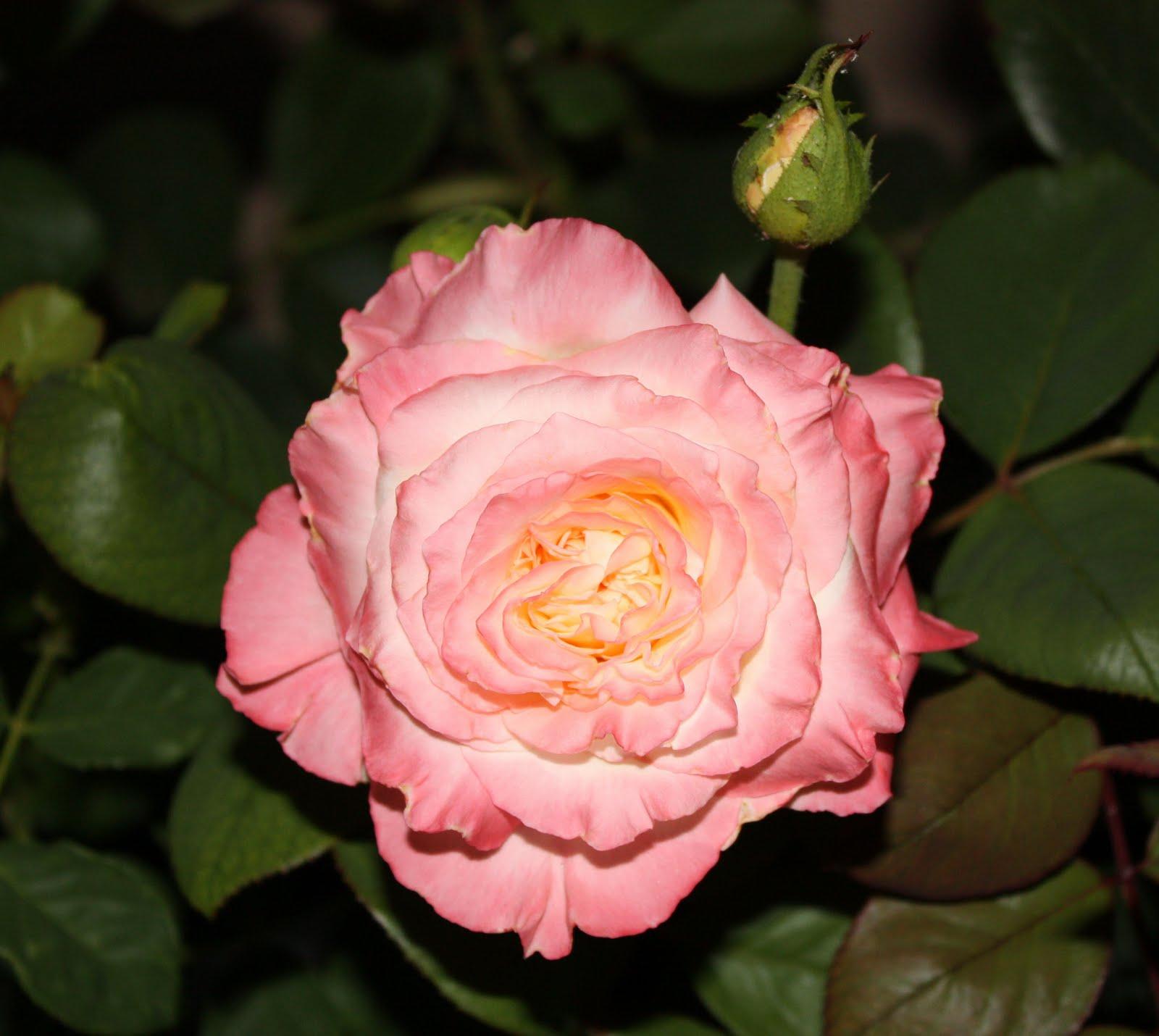 http://3.bp.blogspot.com/_F07iqvPbMZY/TGrZV1iXH4I/AAAAAAAAIy0/3P7oSaY_6-U/s1600/princess%2Bdiana%2Brose.jpg