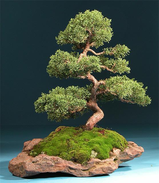 Exposici n de bonsais japoneses crear bonsai for Como cultivar bonsais