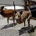 Δίποδα σκυλιά που μοιάζουν με καγκουρό έχουν κλέψει τη παράσταση στις Φιλιππίνες