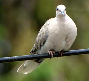 perternakan: peternakan burung dara