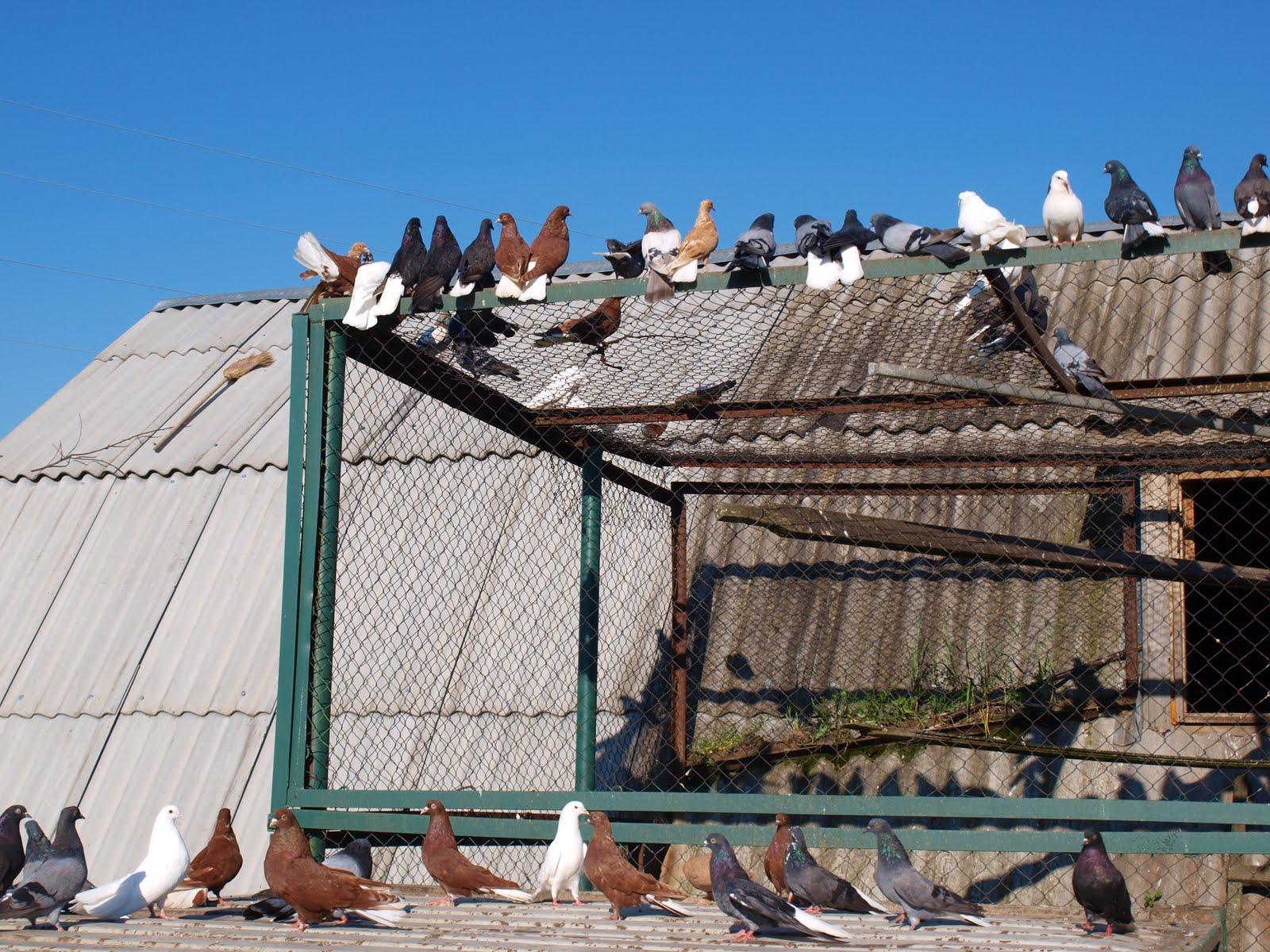 Лётные голуби