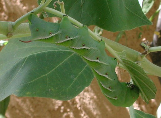 Tomato Hornworm Moth Life Cycle Life cycle: the adult moth