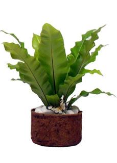 Mirian decor plantas para sombra for Plantas para dentro de casa sombra
