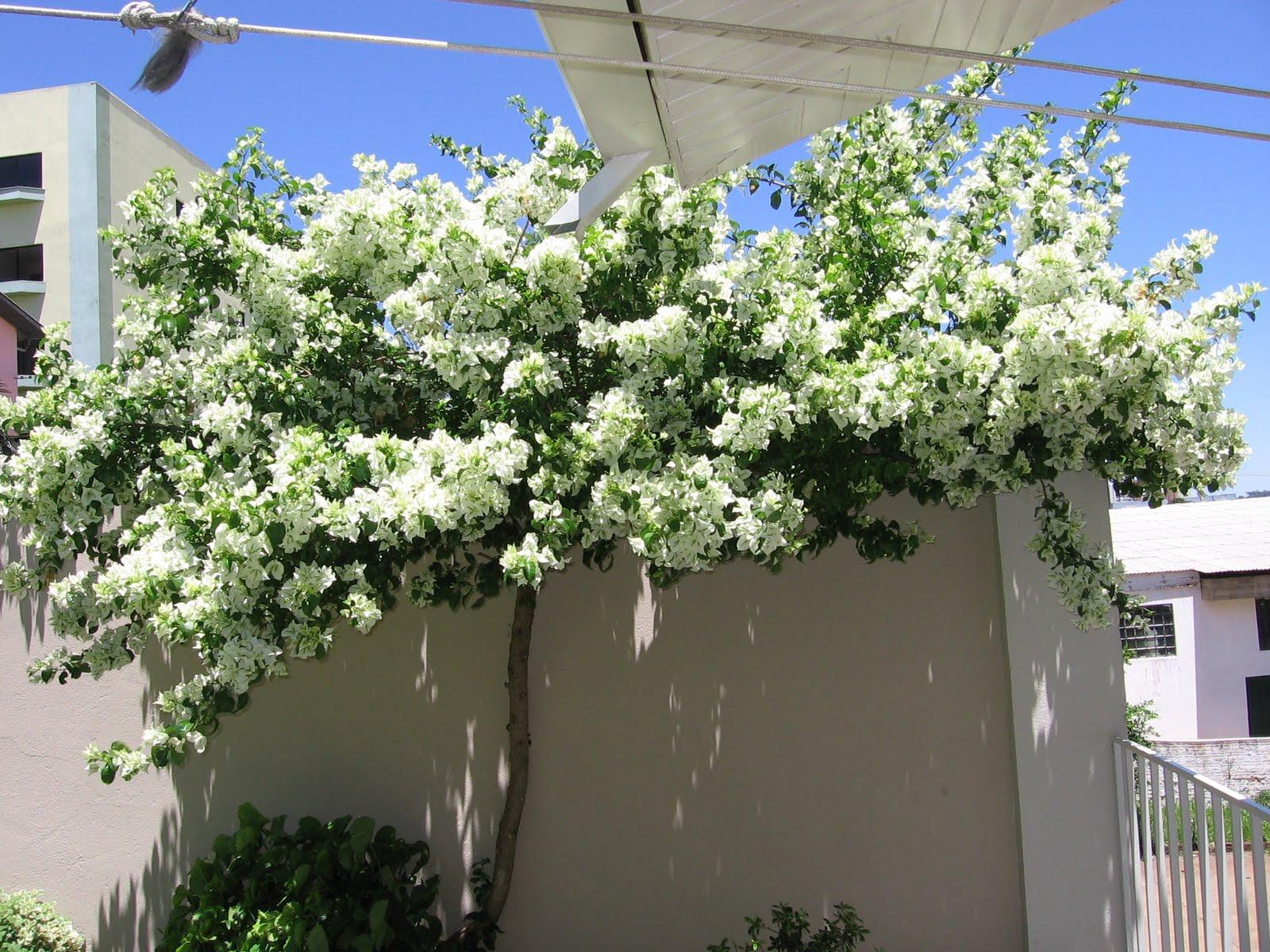 flores do meu jardim krafta:Esse exemplar de Bouganville Branca ,