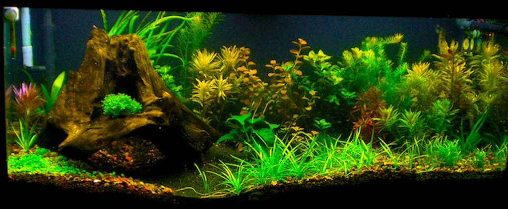 how to kill limpets in planted tank