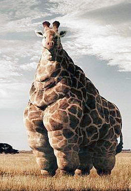 fat giraffe, fattest giraffe, animal, huge animal, animal records