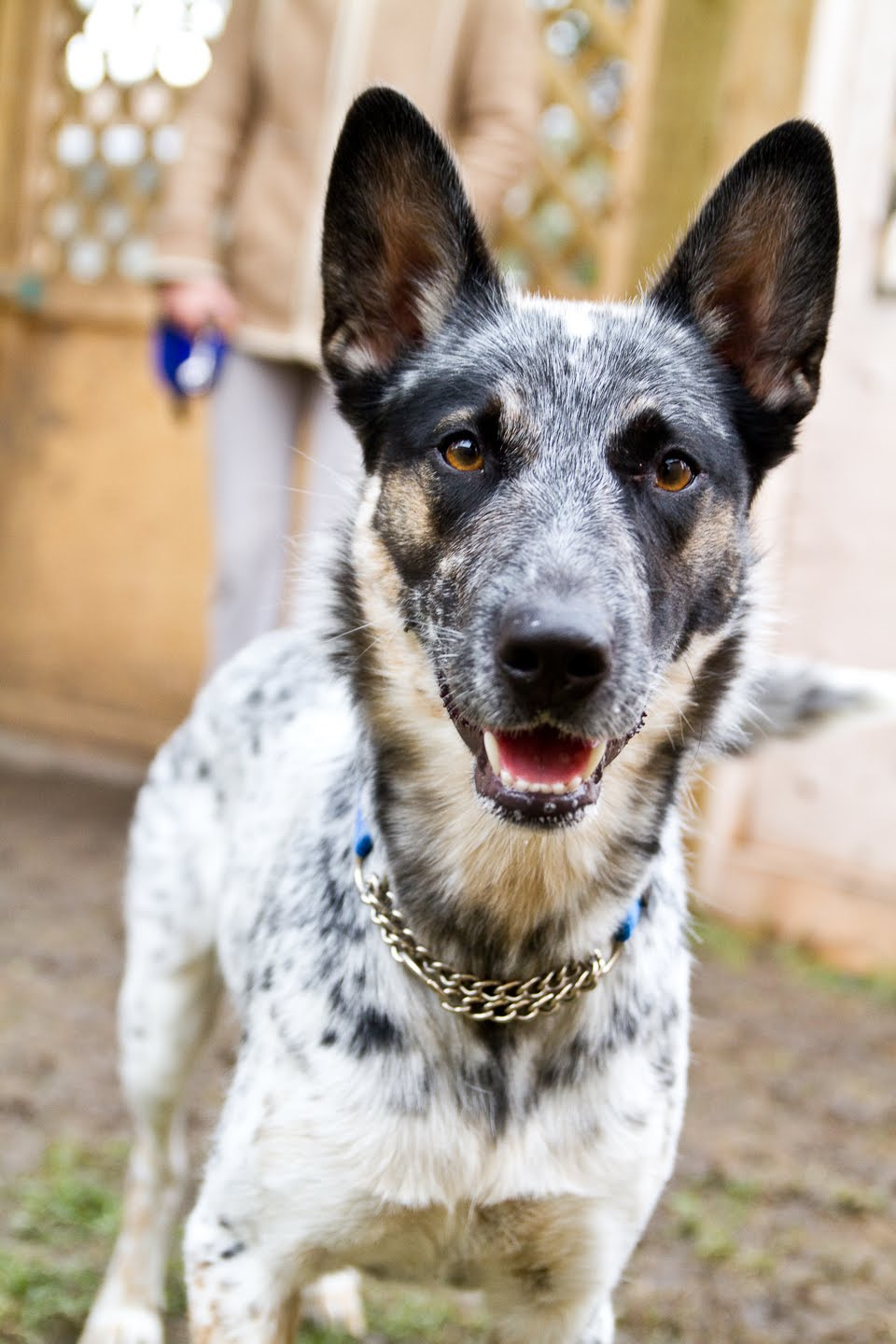 Windy City Canine Rescue: Farrah {Cattle Dog Cross} - ADOPTED