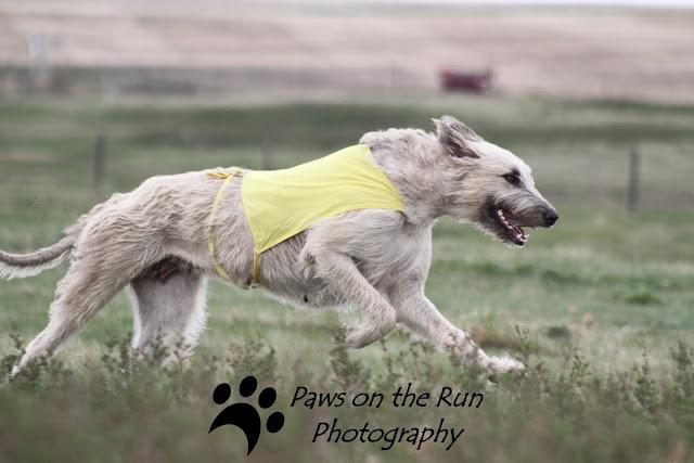 Wolfhound 2 Irish Wolfhound – Lure Coursing