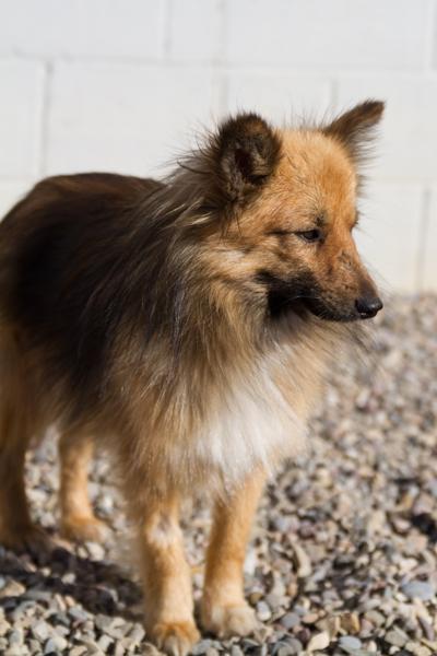 Sheltie >Billy {Sheltie/Pomeranian Cross}   Adoption Pending