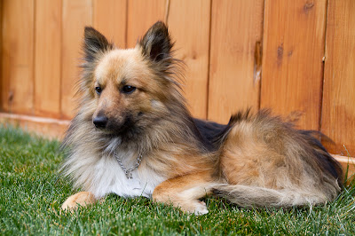 Billy 4 >Billy {Shetland Sheepdog/Pomeranian Cross}   Adopted
