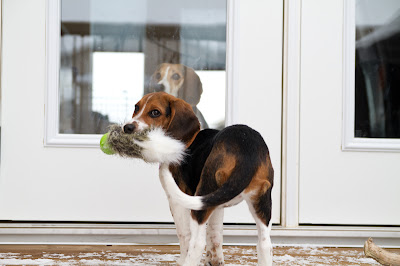 Willow 2 >Willow {Beagle cross}   ADOPTED