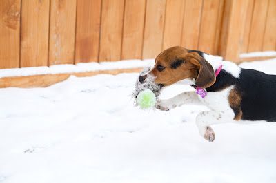 Willow 8 >Willow {Beagle cross}   ADOPTED