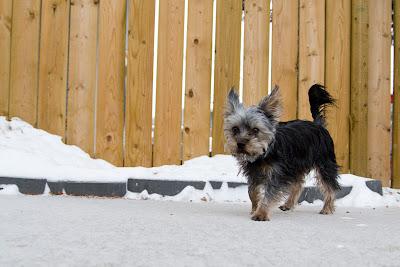 Linc 2 >Linc {Yorkshire Terrier}   ADOPTED